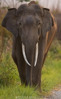 asian-elephant-corbett-AB 5614