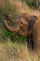 asian-elephant-corbett-AB 5597
