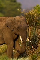 asian-elephant-corbett-AB 5560