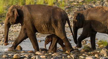 asian-elephant-corbett-AB 7477