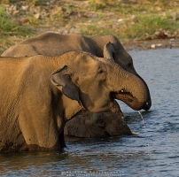asian-elephant-corbett-AB 7508