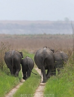 asian-elephant-corbett-AB 8401