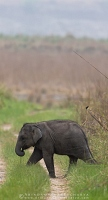 asian-elephant-corbett-AB 8410