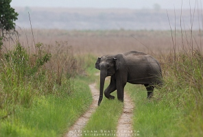asian-elephant-corbett-AB 8473