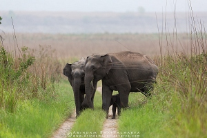 asian-elephant-corbett-AB 8491