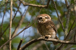 spotted-owlet-nadia-AB 5666