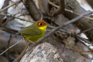 chestnut-headed-tesia-kedarnath-AB 9239