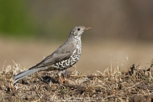 mistle-thrush-kedarnath-AB 5830