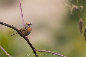 rufous-breasted-accentor-kedarnath-AB 0962