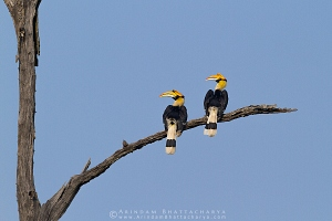 great-hornbill-kaziranga-AB 9169