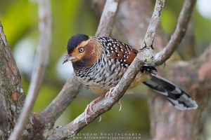 spotted-laughingthrush-sikkim-AB 3389