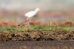 grey-headed-lapwing-purbasthali-AB 1265