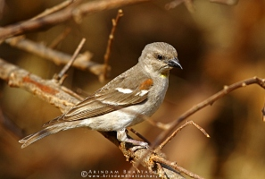 chestnut-shouldered-petronia-maharashtra-AB 0838