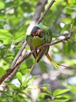 slaty-headed-parakeet-pangot-AB 8664