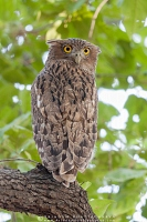 brown-fish-owl-ranthambhore-AB 3896