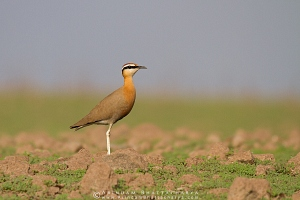 indian-courser-maharashtra-AB 3366