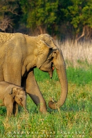 asian-elephant-corbett-AB 6949