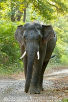 asian-elephant-corbett-AB 6854