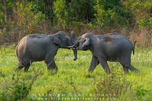 asian-elephant-corbett-AB 6756