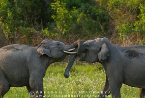 asian-elephant-corbett-AB 6741