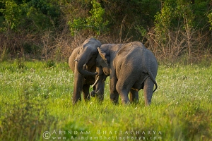 asian-elephant-corbett-AB 6718