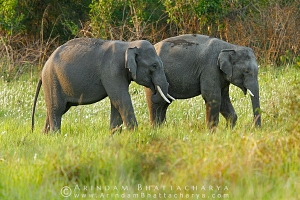 asian-elephant-corbett-AB 6708