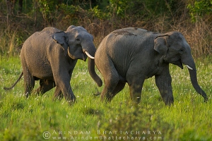 asian-elephant-corbett-AB 6699