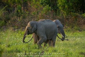 asian-elephant-corbett-AB 6691