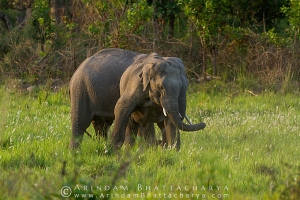 asian-elephant-corbett-AB 6690