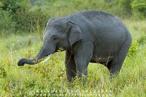 asian-elephant-corbett-AB 6681