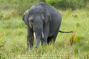 asian-elephant-corbett-AB 6667