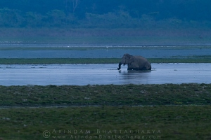 asian-elephant-kaziranga-AB 0843