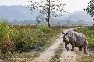 one-horned-rhino-kaziranga-AB 5203