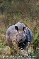 one-horned-rhino-kaziranga-AB 1629