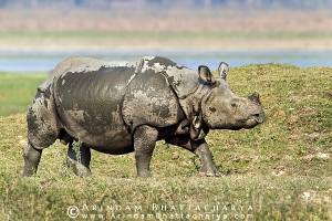 one-horned-rhino-kaziranga-AB 0358