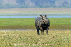 one-horned-rhino-kaziranga-AB 0342