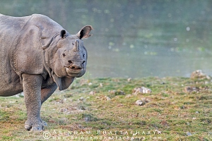 one-horned-rhino-kaziranga-AB 8864