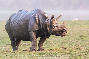 one-horned-rhino-kaziranga-AB 8770
