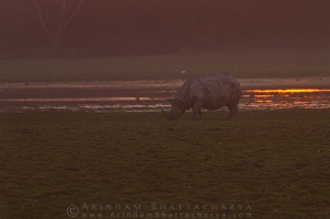 one-horned-rhino-kaziranga-AB 5068