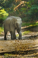 asian-elephant-kaziranga-AB 0043