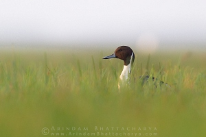 northern-pintail-mangalajodi-AB 4681