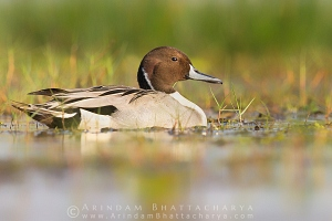 northern-pintail-mangalajodi-AB 4303