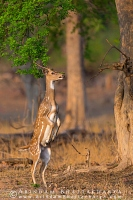 Cheetal-deer-tadoba-AB 1925