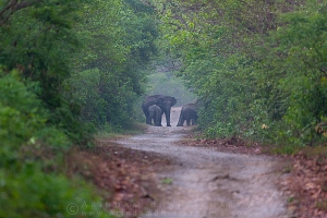 asian-elephant-corbett-AB 8339