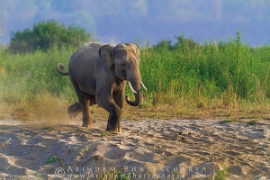 asian-elephant-corbett-AB 7325