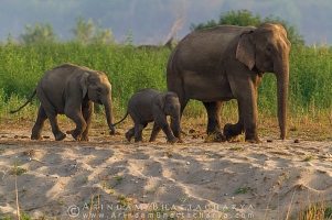asian-elephant-corbett-AB 7257