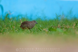 barred-buttonquail-borshul-AB 8706