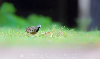 barred-buttonquail-borshul-AB 8707