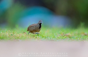 barred-buttonquail-borshul-AB 8712