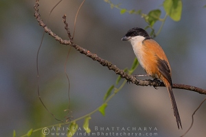 long-tailed-shrike-nadia-AB 1948